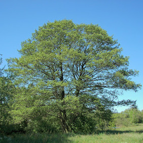 Alba Trees: Photo of Italian Alder