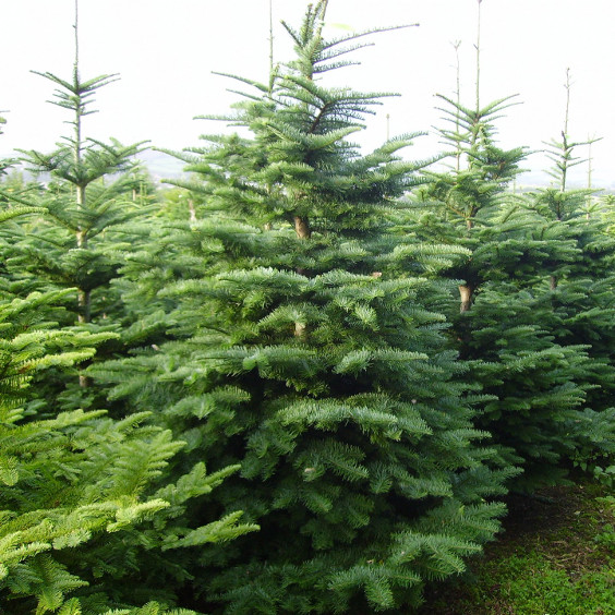Alba Trees: Photo of Noble Fir